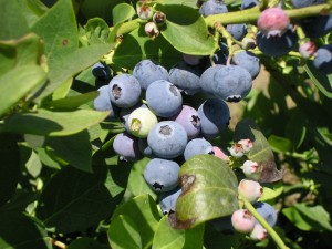 blueberries from Underwood